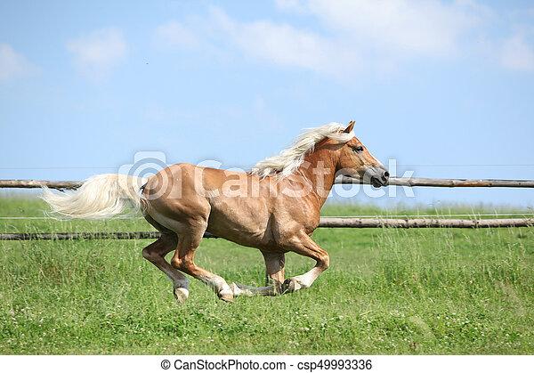 Haflinger Running