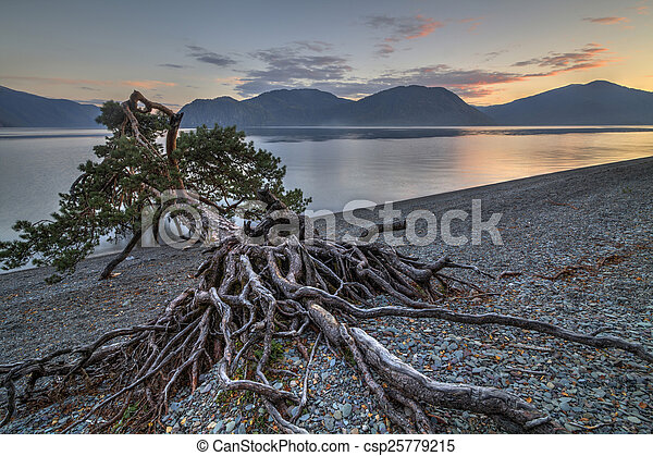 Amazing pine on the shore of a mountain lake - csp25779215