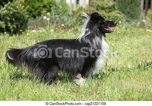 Amazing sheltie in the garden - csp21221109