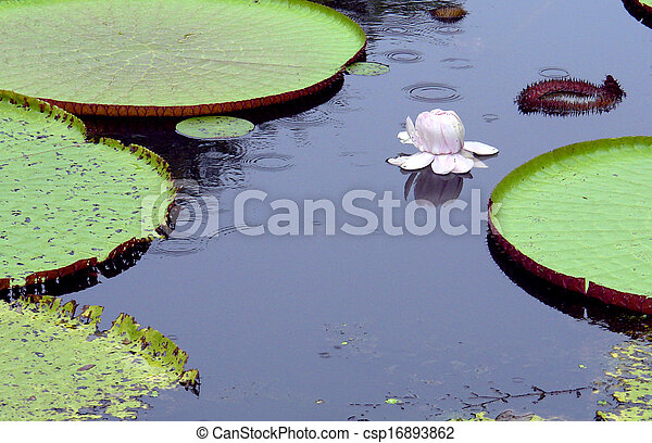 Amazon water lily - csp16893862