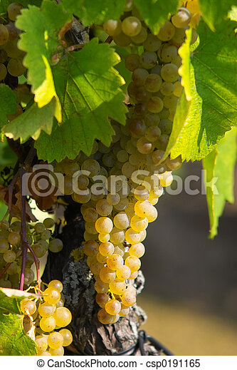 Amber grapes - csp0191165