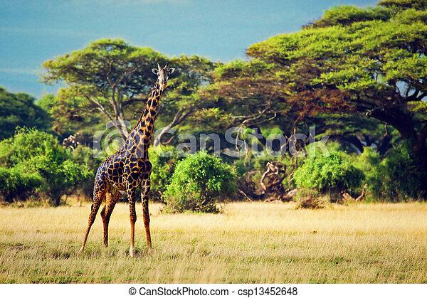 amboseli, アフリカ, savanna., キリン, サファリ, kenya - csp13452648
