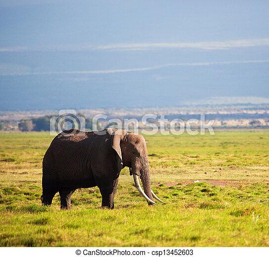amboseli, アフリカ, savanna., サファリ, 象, kenya - csp13452603