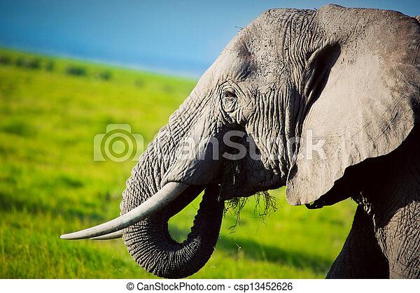 amboseli, アフリカ, savanna., サファリ, 象, kenya - csp13452626