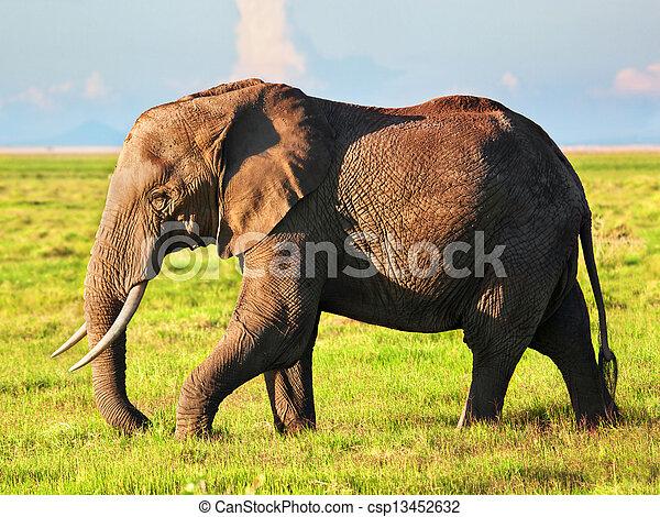 amboseli, アフリカ, savanna., サファリ, 象, kenya - csp13452632