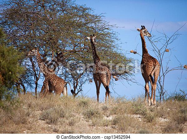 amboseli, キリン, アフリカ, savanna., サファリ, kenya - csp13452594