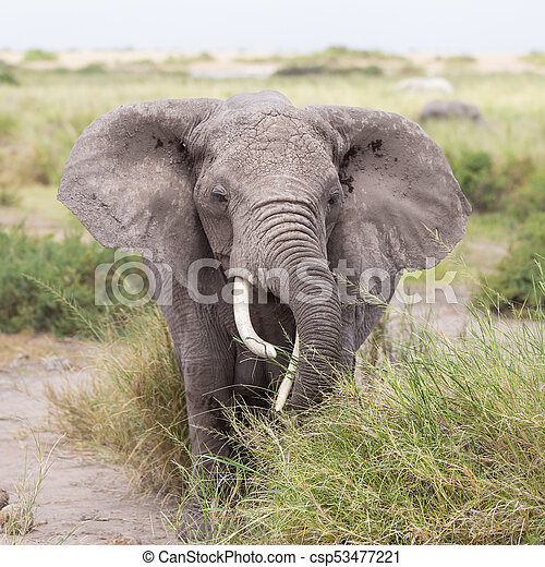 amboseli, 公園, 象, 野生, kenya., 国民 - csp53477221