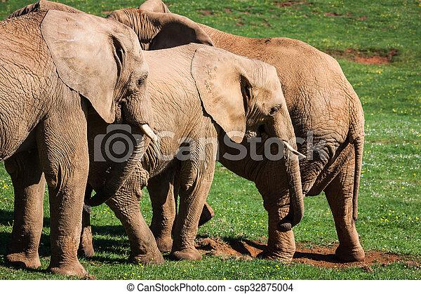 amboseli, 家族, 象, アフリカ, savanna., サファリ, アフリカ, kenya - csp32875004