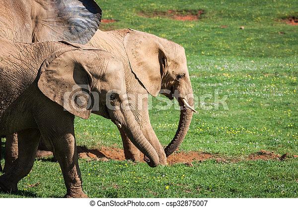 amboseli, 家族, 象, アフリカ, savanna., サファリ, アフリカ, kenya - csp32875007