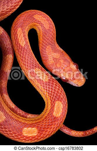 Amel motley corn snake isolated on black background