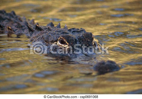 American Alligator - csp0691068
