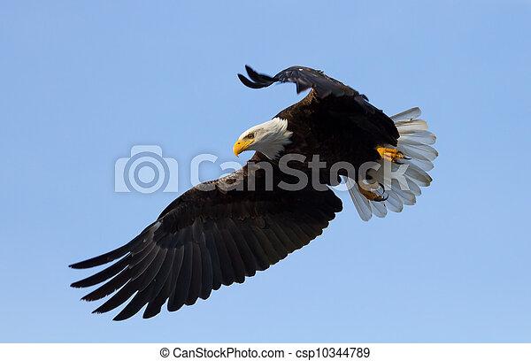 American Bald Eagle - csp10344789