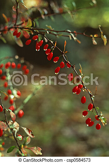 American Barberry  - csp0584573