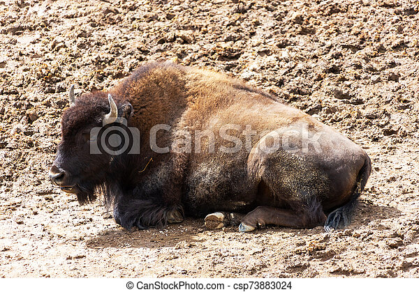 American Bison at Hayden Valley in Yellowstone National Park - csp73883024