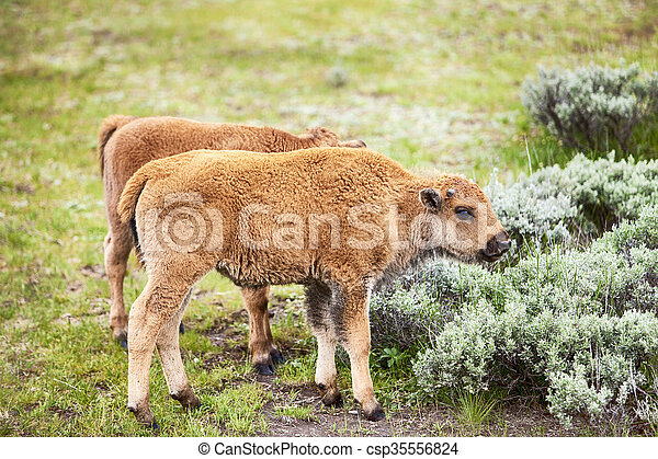 American Bison Baby Calf - csp35556824