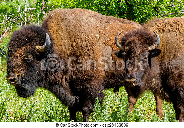 American Bison Buffalo in Oklahoma - csp28163809