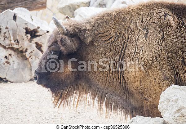 American Bison Buffalo side profile - csp36525306