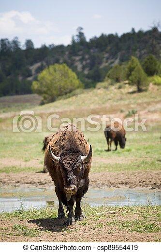 American bison, buffalo, Utah, USA - csp89554419