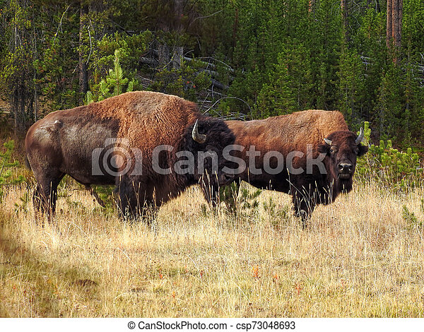 American Bison Bull and Cow during the Rut in Autumn - csp73048693