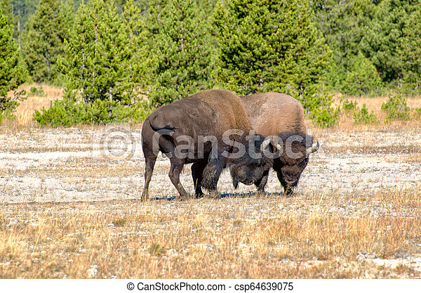 American Bison Butting Heads in the Autumn Season in Yellowstone National Park - csp64639075