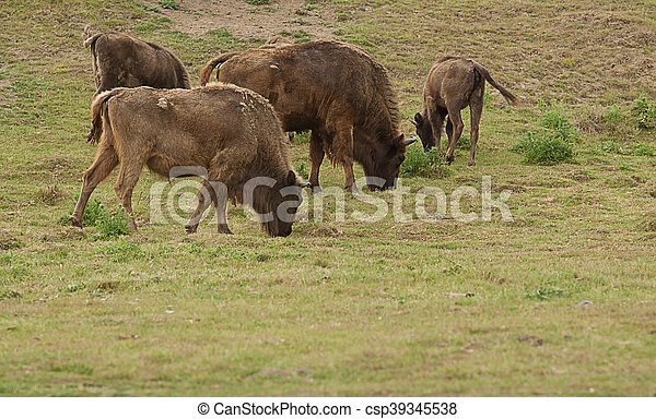 American Bison grazing - csp39345538