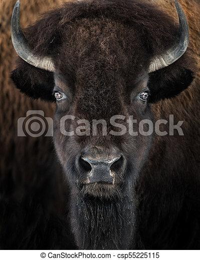 American Bison II - csp55225115