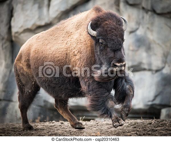 American Bison III - csp20310463