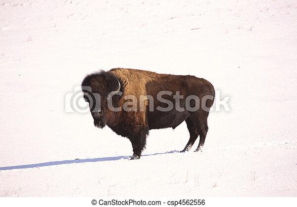 American Bison in snow covered field of Saskatchewan - csp4562556