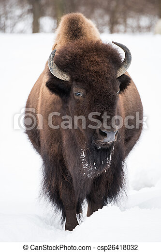 American Bison in Snow II - csp26418032