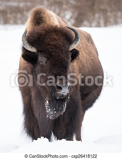 American Bison in Snow III - csp26418122