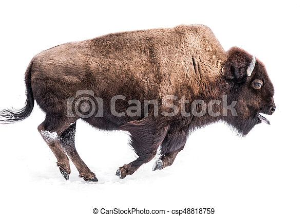 American Bison in Snow IV - csp48818759