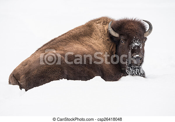American Bison in Snow - csp26418048