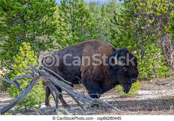 American Bison in the Forest in Yellowstone National Park, Wyoming - csp66280445