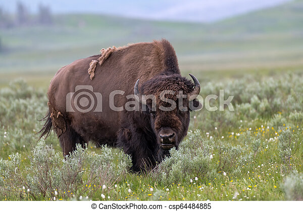 American Bison in the Lamar Valley of Yellowstone National Park USA - csp64484885