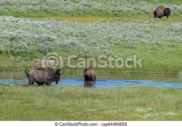 American Bison in the Lamar Valley of Yellowstone National Park USA - csp64484659