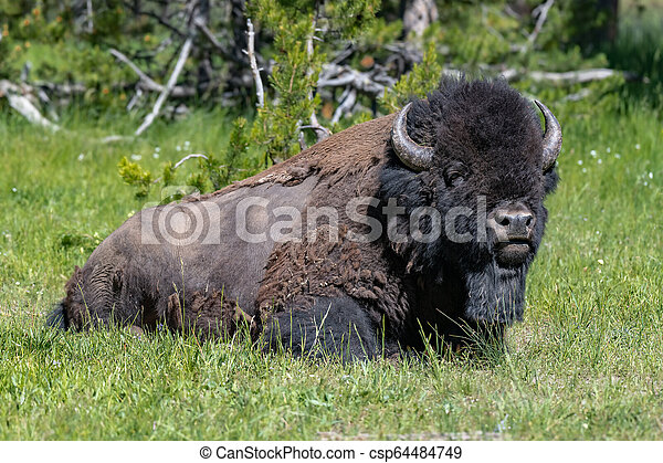 American Bison in the Lamar Valley of Yellowstone National Park USA - csp64484749
