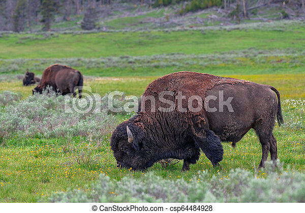 American Bison in the Lamar Valley of Yellowstone National Park USA - csp64484928