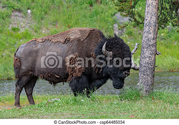 American Bison in the Lamar Valley of Yellowstone National Park USA - csp64485034
