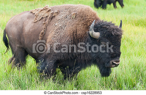 American Bison in the Yellowstone National Park - csp16228953