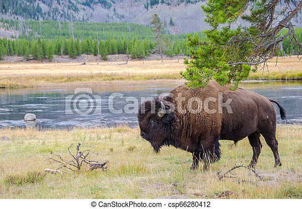 American Bison in Yellowstone National Park alongside the Madison River - csp66280412