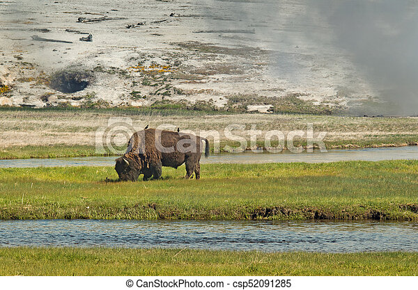 American bison in Yellowstone National Park, Wyoming, USA - csp52091285