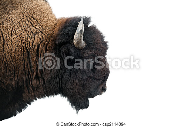 American Bison in Yellowstone National Park - csp2114094