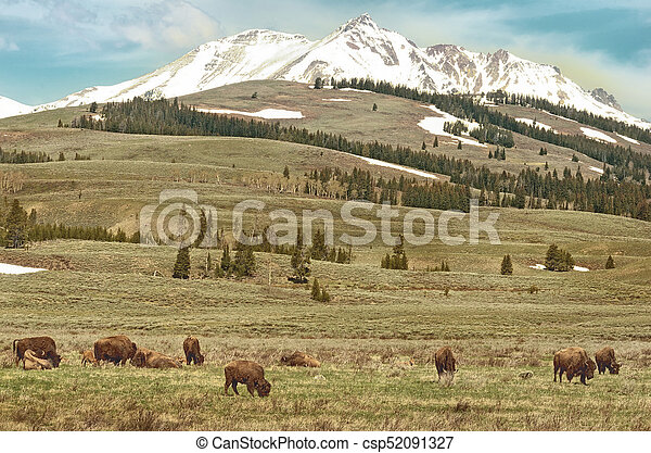 American bison in Yellowstone National Park, Wyoming, USA - csp52091327