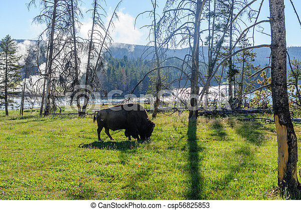 American Bison in Yellowstone - csp56825853