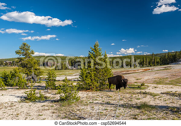American bison in Yellowstone - csp52694544