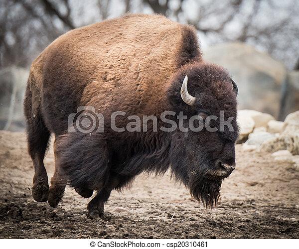American Bison IV - csp20310461