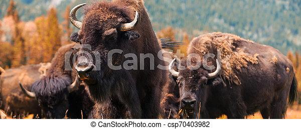 American Bison or Buffalo Panorama Web Banner - csp70403982