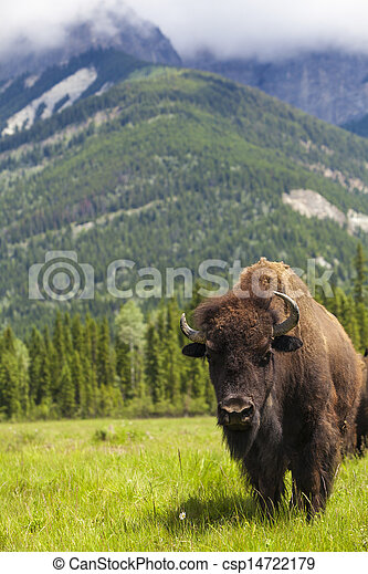 American Bison or Buffalo - csp14722179