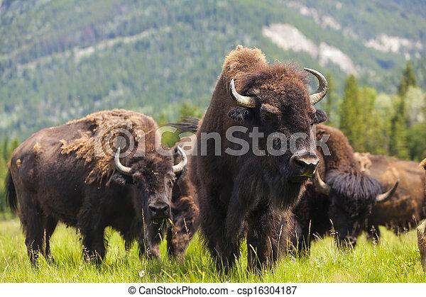 American Bison or Buffalo - csp16304187