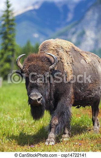 American Bison or Buffalo - csp14722141